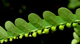 Phyllanthus Niruri: Unbelievable relief against kidney stones