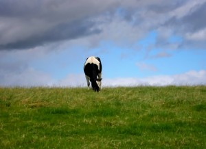 Cow in a field, eating grass